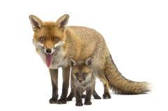 Raposa da mãe com seu filhote (7 semanas velho) Foto de Stock Royalty Free