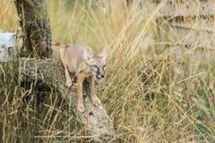 Raposa de Corsac, corsac do vulpes Fotografia de Stock Royalty Free