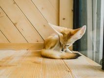 Raposa de Fennec como um animal de estimação Fotografia de Stock Royalty Free