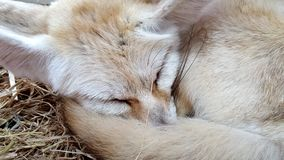 Raposa de Fennec da raposa do deserto imagens de stock
