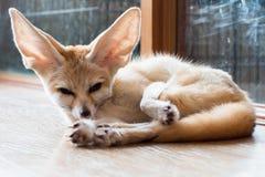 Raposa de Fennec isolado de 1 ano no fundo fotos de stock