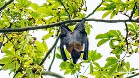 Raposa de voo agradável que pendura de uma árvore, Maldivas fotografia de stock royalty free