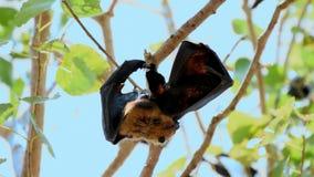 Raposa de voo do bastão que pendura em uma árvore video estoque