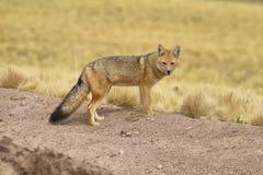Raposa do deserto Fotos de Stock