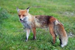 Raposa dos animais selvagens Imagem de Stock Royalty Free