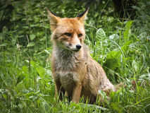 Raposa dos animais selvagens na natureza fotos de stock