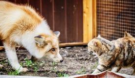Raposa dourada doméstica em conflito com o gato doméstico fotos de stock royalty free