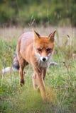 A raposa está vindo fotografia de stock