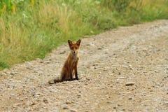 Raposa nova na estrada rural Foto de Stock
