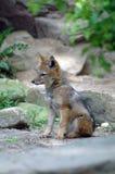 A raposa pequena está sonhando Imagens de Stock Royalty Free