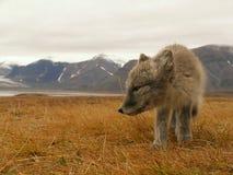 Raposa polar Fotos de Stock