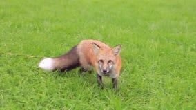 A raposa ruivo na caminhada, come a guloseima da aeromoça fora filme