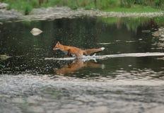 Raposa Running no rio foto de stock