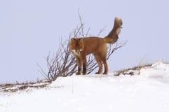 Raposa vermelha. Fotografia de Stock