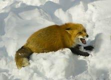Raposa vermelha Fotografia de Stock