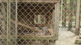 Raposa vermelha bonita que corre em uma gaiola no jardim zoológico, fundo filme