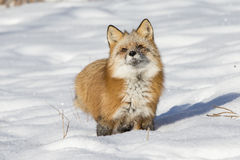 Raposa vermelha bonito que está na neve Fotografia de Stock