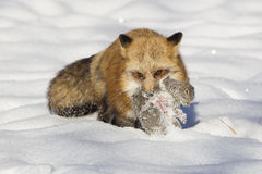 Raposa vermelha com o esquilo na boca Fotografia de Stock Royalty Free