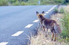 Raposa vermelha na estrada Foto de Stock Royalty Free
