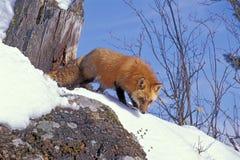 Raposa vermelha na neve imagem de stock royalty free