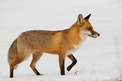 Raposa vermelha na neve Fotografia de Stock