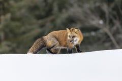 Raposa vermelha na neve Fotos de Stock Royalty Free