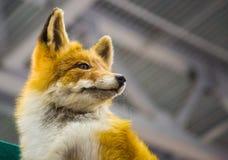 Raposa vermelha no fundo de um telhado Foto de Stock Royalty Free