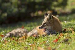Raposa vermelha no outono Imagem de Stock Royalty Free