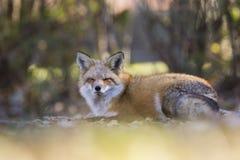 Raposa vermelha no outono Foto de Stock Royalty Free