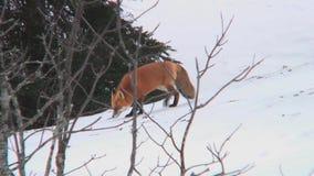Raposa vermelha no selvagem no inverno video estoque