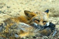 Raposa vermelha nova do sono Imagem de Stock Royalty Free