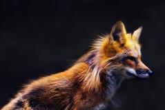 Raposa vermelha nova (vulpes do vulpes) na luz macia do por do sol Fotos de Stock