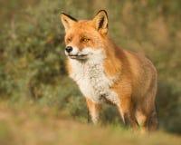 Raposa vermelha orgulhosa Fotografia de Stock Royalty Free