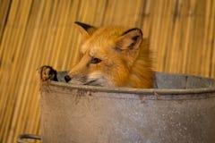 Raposa vermelha que esconde em Tin Tub foto de stock royalty free