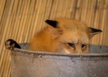 Raposa vermelha que esconde em Tin Tub imagens de stock royalty free