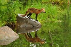 Raposa vermelha que mostra a reflexão da água. Fotos de Stock