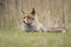 Raposa vermelha selvagem Imagem de Stock Royalty Free