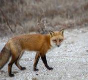 Raposa vermelha, vulpes do Vulpes, para fora para sua viagem de caça diária foto de stock