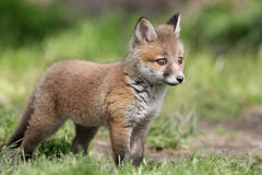 Raposa vermelha, vulpes do Vulpes Fotografia de Stock Royalty Free