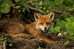 Raposa vermelha (vulpes do Vulpes) Fotografia de Stock