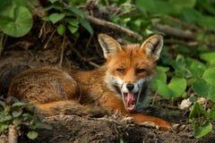 Raposa vermelha (vulpes do Vulpes) Imagens de Stock Royalty Free