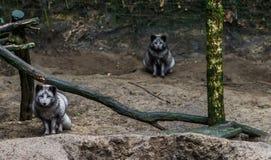 Raposas árticas cinzentas, uma vinda mais próxima e um que senta-se no fundo, animal do hemisfério Norte imagem de stock royalty free