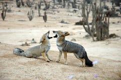 Raposas chilenas selvagens do deserto, frente a frente Imagens de Stock Royalty Free