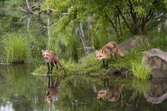 Raposas com reflexão Fotografia de Stock Royalty Free