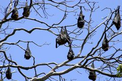 Raposas de vôo Fotos de Stock
