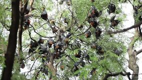 Raposas de voo que penduram na árvore vídeos de arquivo
