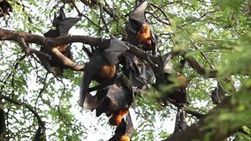 Raposas de voo que penduram na árvore video estoque