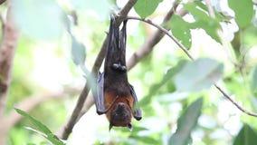 Raposas de voo que penduram na árvore filme