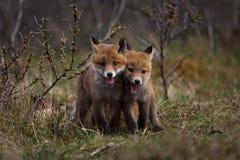 Raposas minúsculas foto de stock royalty free