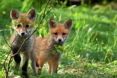 Raposas no selvagem Imagens de Stock Royalty Free